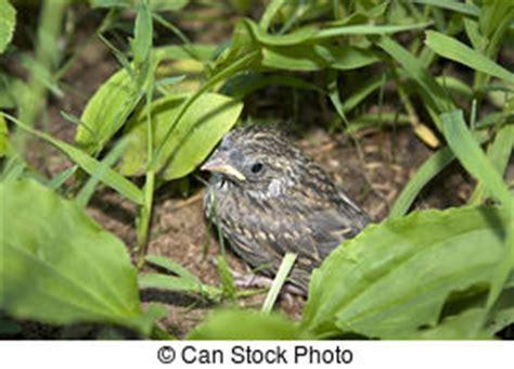 alimentazione passero uova scheggiare passero nido uova confortevole