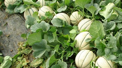 how to plant a backyard garden how to growing cantaloupe and honeydew melons in backyard