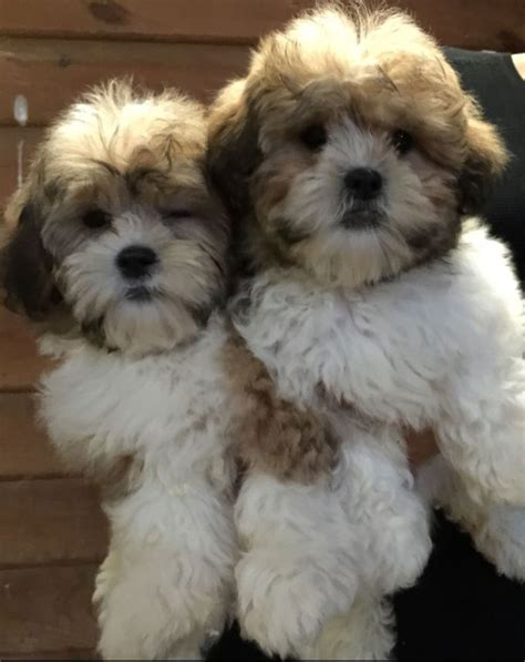 shih tzu and a bichon frise bichon and shih tzu assistedlivingcares