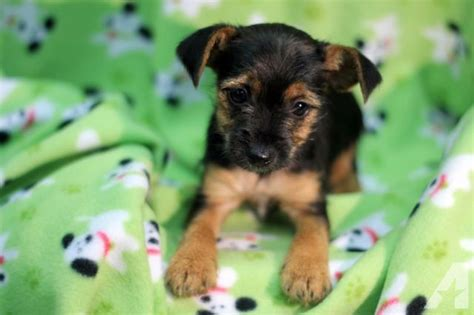 torkie puppies brody torkie puppy for sale yorkie fox terrier mix for sale in becks mills ohio