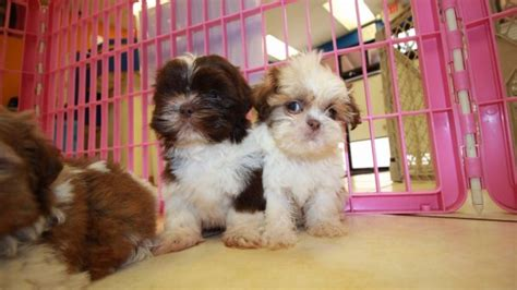 shih tzu puppies for sale scotia teacup shih poo puppies for sale in ga breeds picture