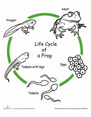 color the life cycle frog worksheet education com