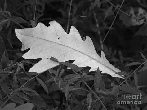 Black And White Oak Leaf Photograph By Jamie Mcclellan Elsner Black White Oak Leaf