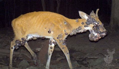 do deer see color how to recognize 5 common lethal deer diseases outdoorhub