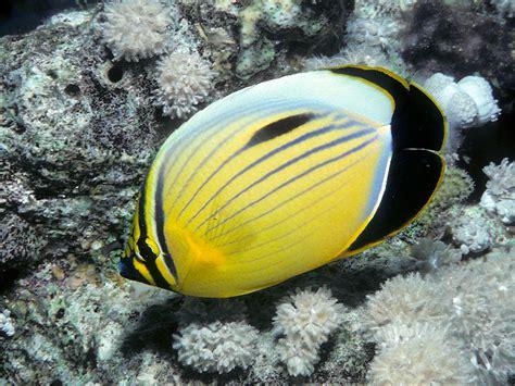 blacktail butterflyfish wikipedia