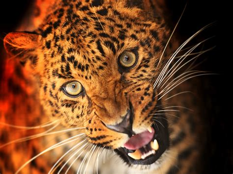 imagenes para fondo de pantalla leopardos animal de leopardo cara ojos colmillos fondos de