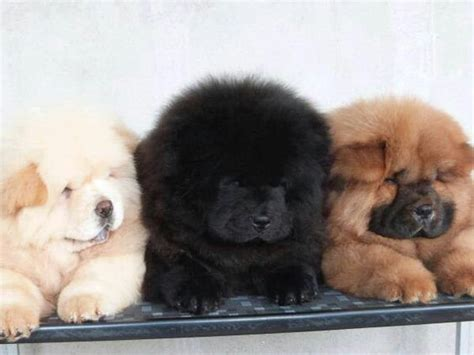 mini chow chow puppies mini chow animals minis