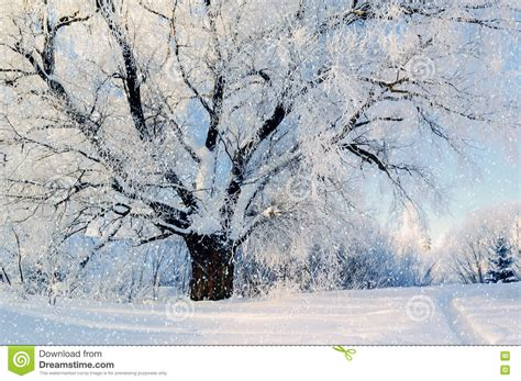 frosty forest royalty free stock a snowy winter frosty morning royalty free stock image