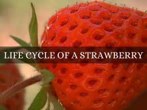 lifespan of a cycle of a strawberry by ard