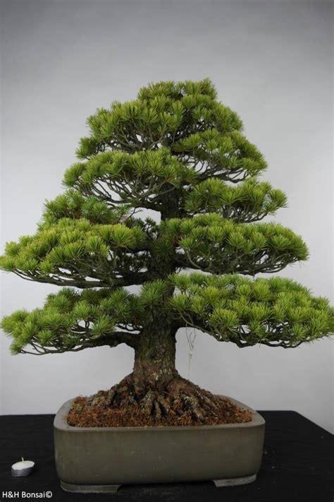 bonsai white pine pinus parviflora   www