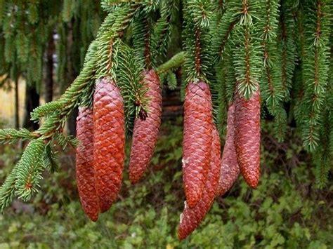 abeti da giardino abete rosso alberi come coltivare l abete rosso