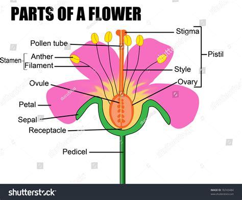 diagram of hibiscus flower parts flower vector illustration flower diagram stock