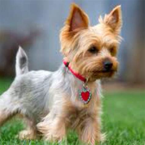 pictures of yorkshire terrier cuts 28 best images about yorkie cuts on pinterest