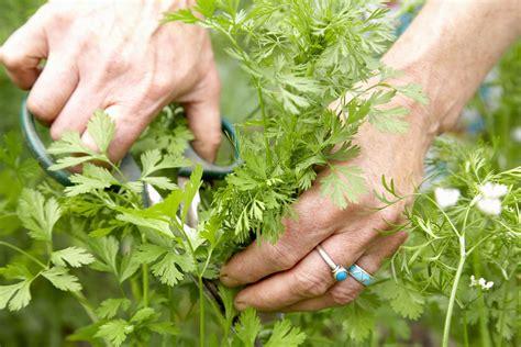 grow cilantrocoriander