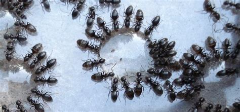 how to get rid of sugar ants in the house blog new leaf pest control