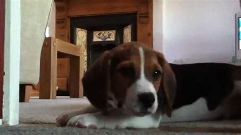 beagle puppy howling beagle puppy howling and