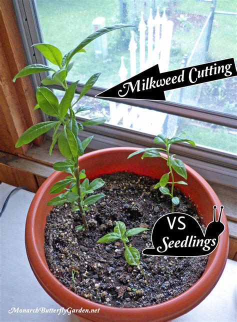 grow from cuttings tropical milkweed propagation