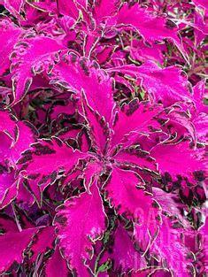 coleusplantsforsale hotukdeals coleus canina