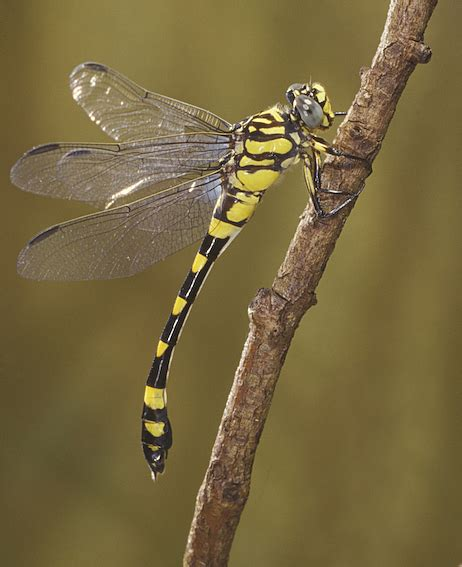 i see a dragonfly dragonfly guys books dragonflies damselflies order odonata queensland museum