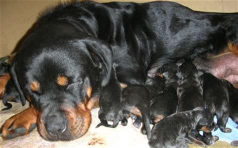 newborn rottweiler puppies newborn rottweiler puppy www pixshark images galleries with a bite