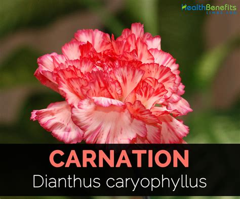 facts about carnations carnation facts and medicinal uses