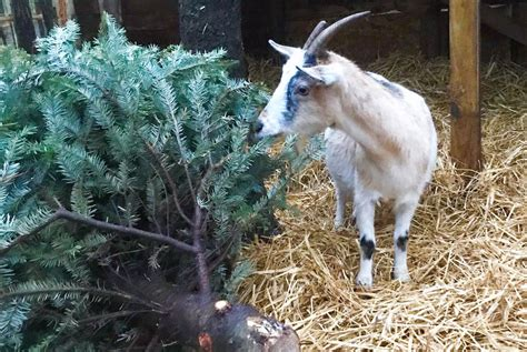 cottageville zoo recycling christmas trees  goats