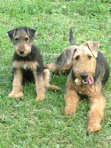 Middle Sized Dogs That Don T Shed by Airedale Terrier Non Shedding 28 Images Non Shedding