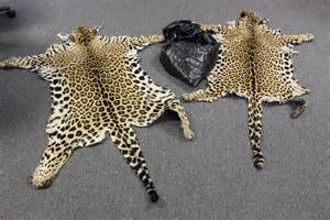 How Many Types Of Jaguars Are There Endangered Species Jaguar Kfp
