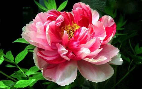 peony flowers peony flower start growing your own diy front yard
