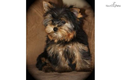black teacup yorkie black yorkie poo