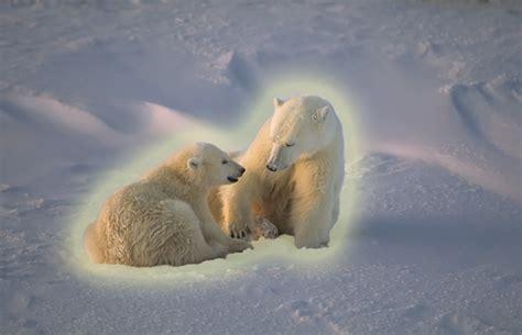 what color is polar hair polar black skin clear fur