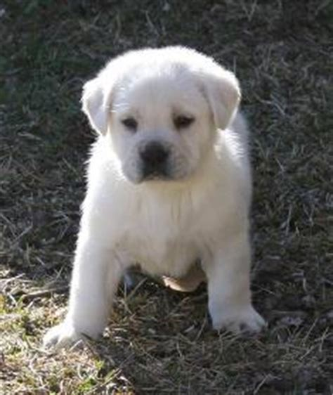 lab puppies for sale in ms white labrador retriever puppies