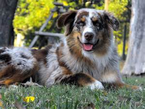 Working australian shepherds texas 171 australian shepherd tips