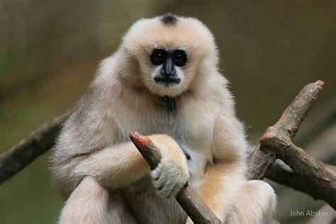 Zoo Animal Wall Stickers quot gibbon monkey quot by john absher redbubble