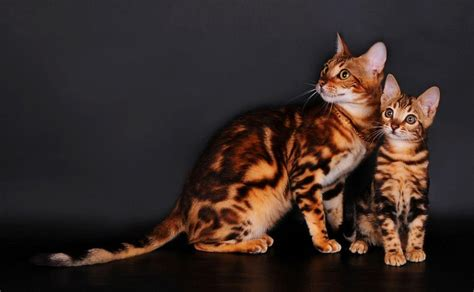 Bengal Cat Wallpapers   Wallpaper Cave
