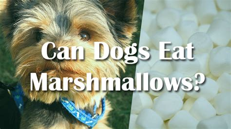 can dogs marshmallows can i give my marshmallows pet consider