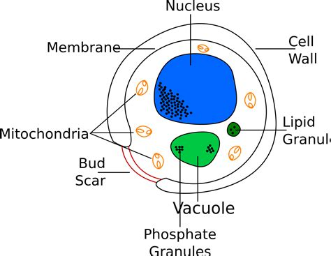 fileyeast cell englishsvg wikipedia