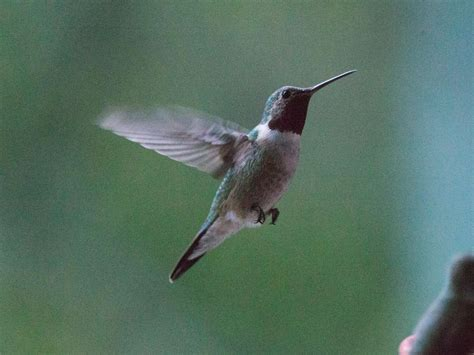 broad tailed hummingbird in san diego county san diego