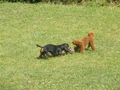 toelettatura cani pavia allevamento tres allevamento cani pensione cani