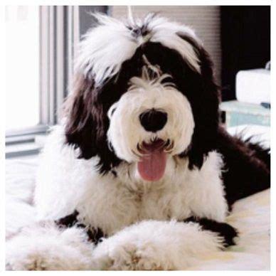 mini doodle saskatchewan sheepadoodle puppies sheepadoodles sheepadoodle dogs