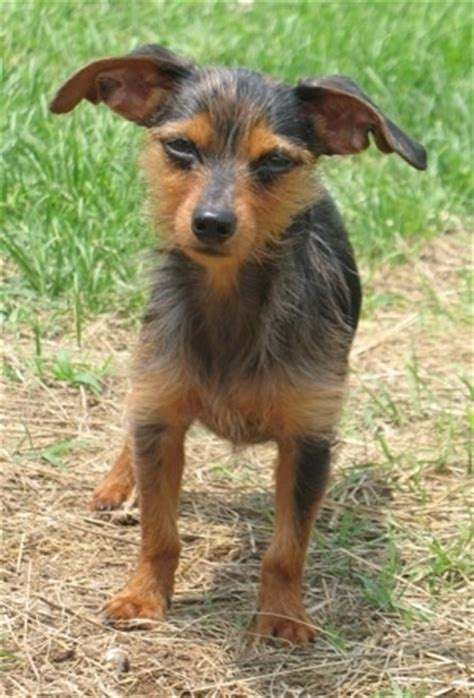 haired dachshund yorkie mix dorkie breed information and pictures