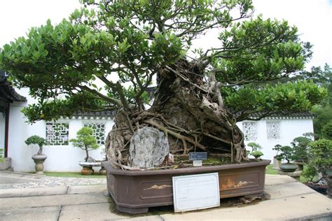 old bonsai tree panoramio photo of a 150 year old bonsai ficas tree