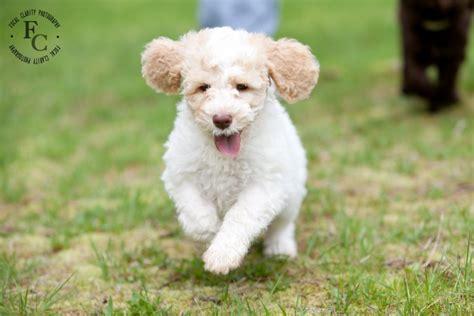 white labradoodle puppies white parti australian labradoodle trail s end labradoodles