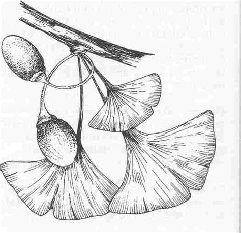coloring pages ginkgo tree how to draw ginko