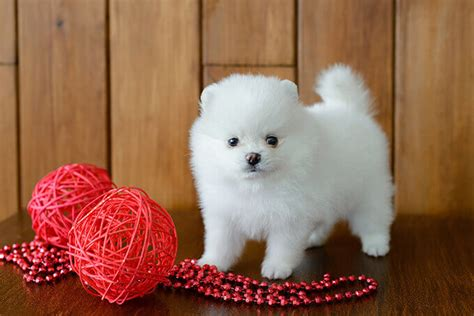 pomeranian puppies photos pomeranian characteristics appearance and pictures