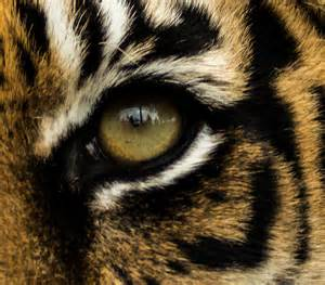 tiger eye wallpapern