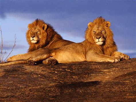 imágenes de leones juntos imagenes de leones imagen leones descansando