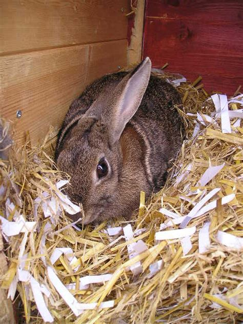 best bedding for rabbits should i use straw or hay for rabbit bedding bedding sets collections
