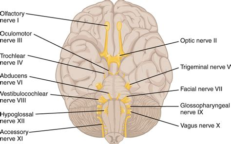 cranial nerve diagram file 1320 the cranial nerves jpg wikimedia commons
