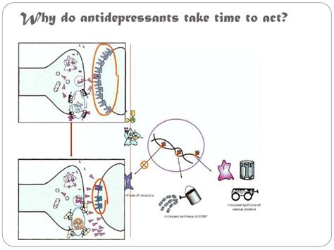 How Does It Take To Detox From Antidepressants by Ppt Antidepressants Pharmacodynamics Powerpoint